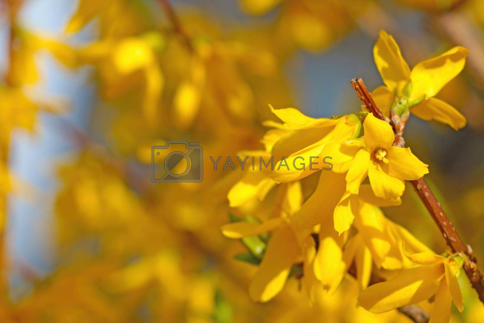 Royalty free image of Beautiful yellow blooming forsythia in the park in spring. by kip02kas
