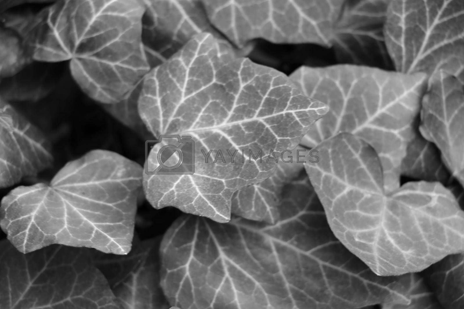 Royalty free image of Blurred background, out of focus, black and white photo, texture of young leaves of a bush or flowers. by kip02kas