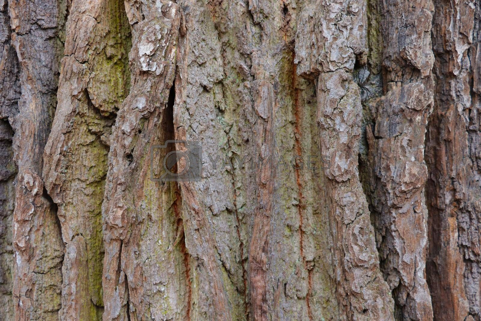 Royalty free image of Close-up on the bark and trunk of an old large tree, wood grain. by kip02kas