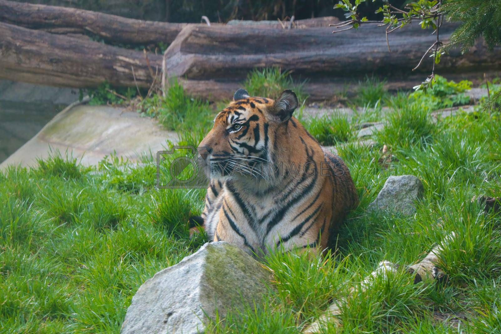 Royalty free image of Selective focus. A young tiger lies in the grass and looks attentively. by kip02kas