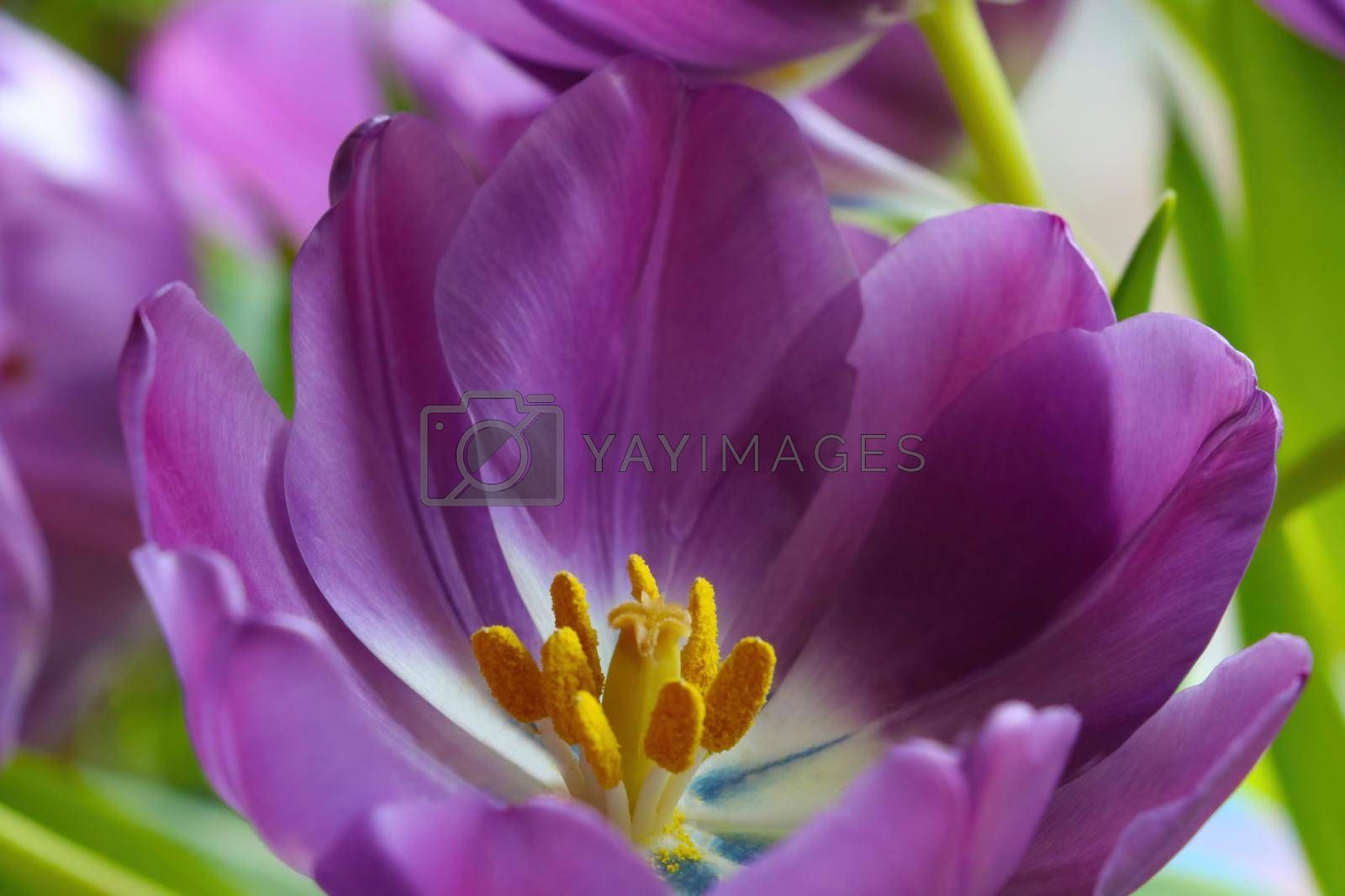 Royalty free image of View of a young purple blooming tulip in the park. by kip02kas