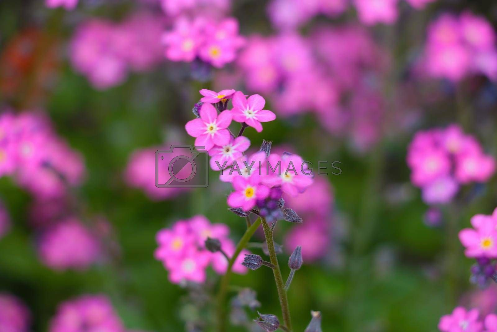 Royalty free image of Beautiful perennial flowers bloom in the summer meadow. by kip02kas