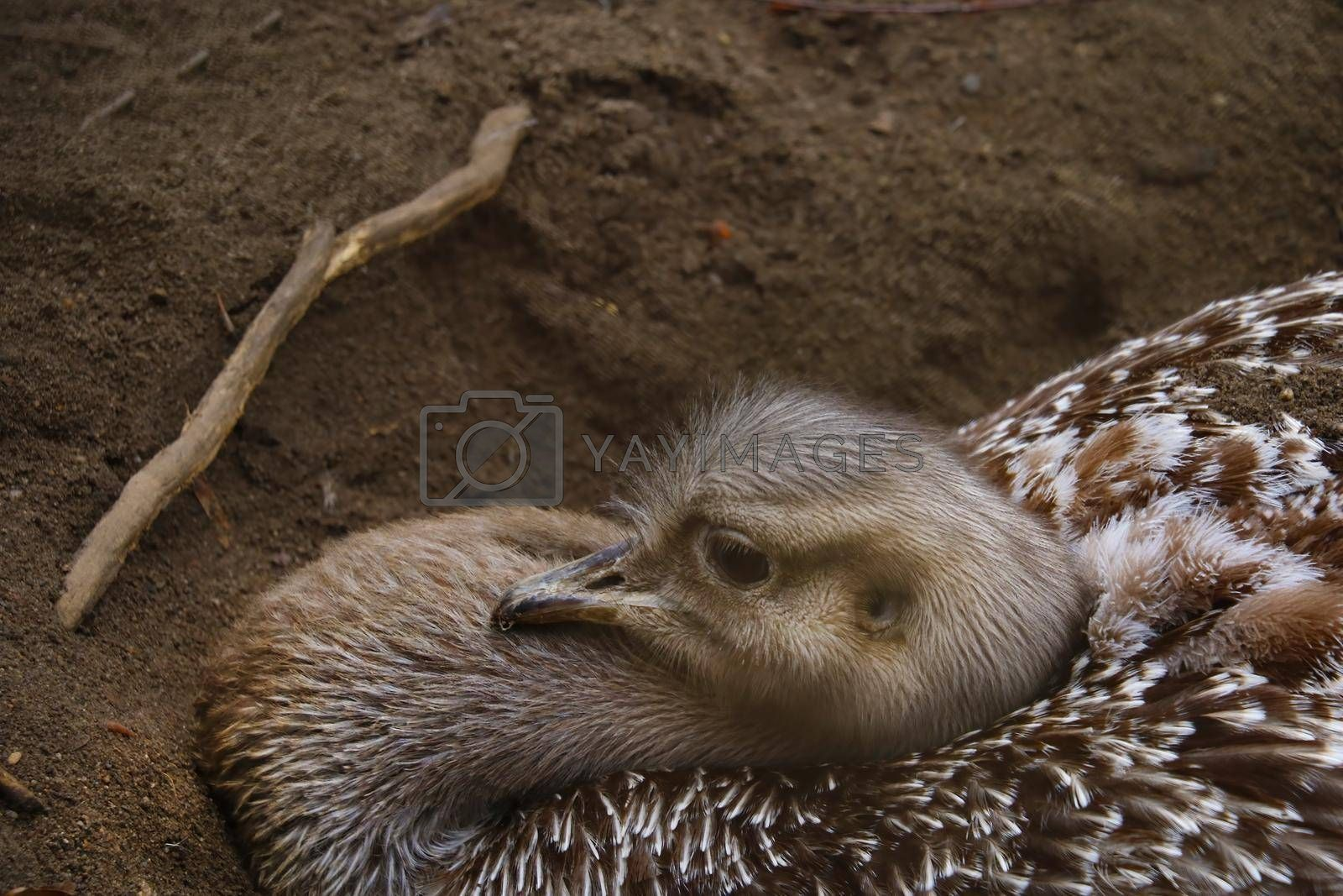 Royalty free image of Close-up on the head of an ostrich sitting on eggs in the sand. by kip02kas
