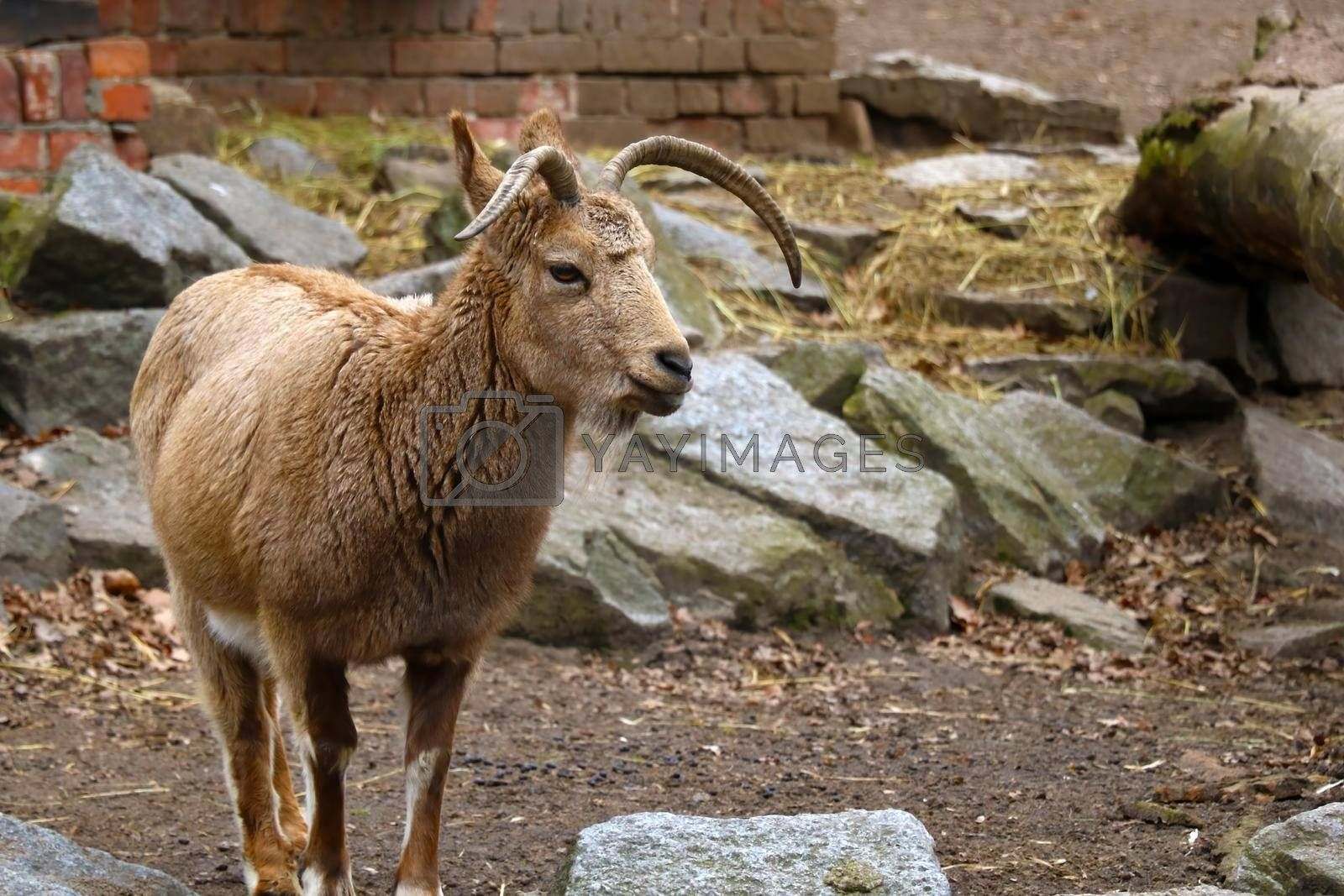 Royalty free image of A mountain goat stands in the animal park close-up. by kip02kas