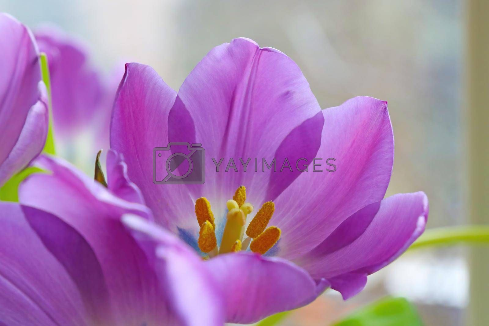 Royalty free image of Close-up of a blossoming tulip in the park. by kip02kas