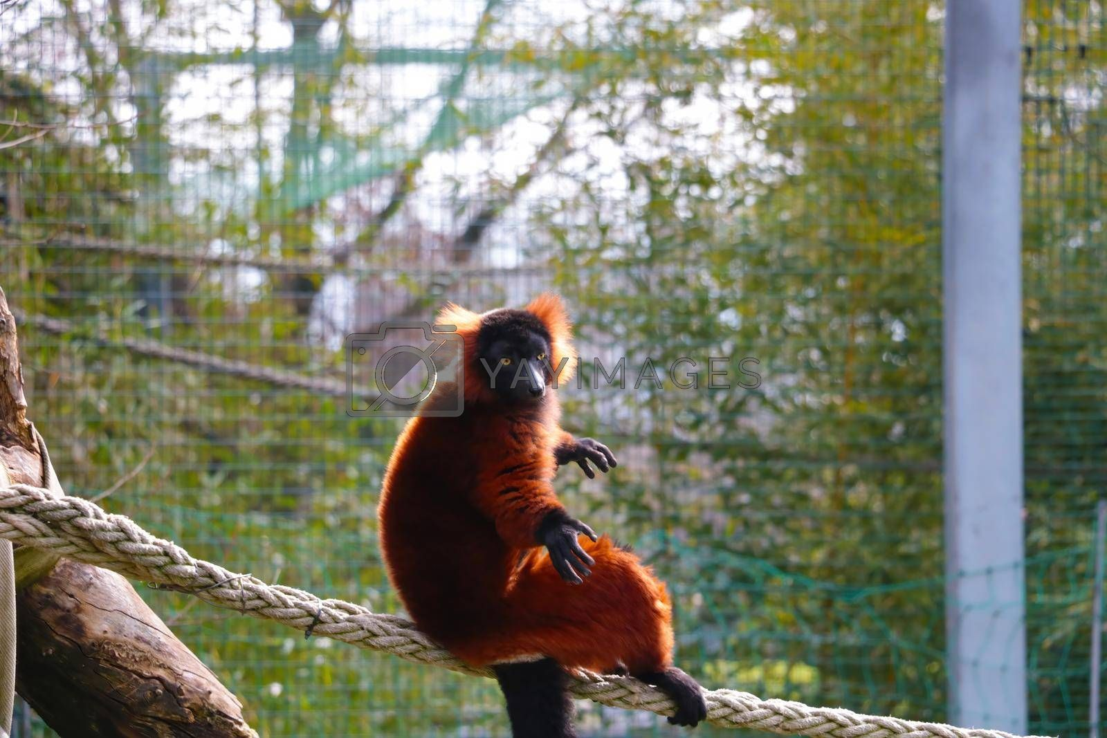 Royalty free image of View of a beautiful lemur in the animal park. by kip02kas