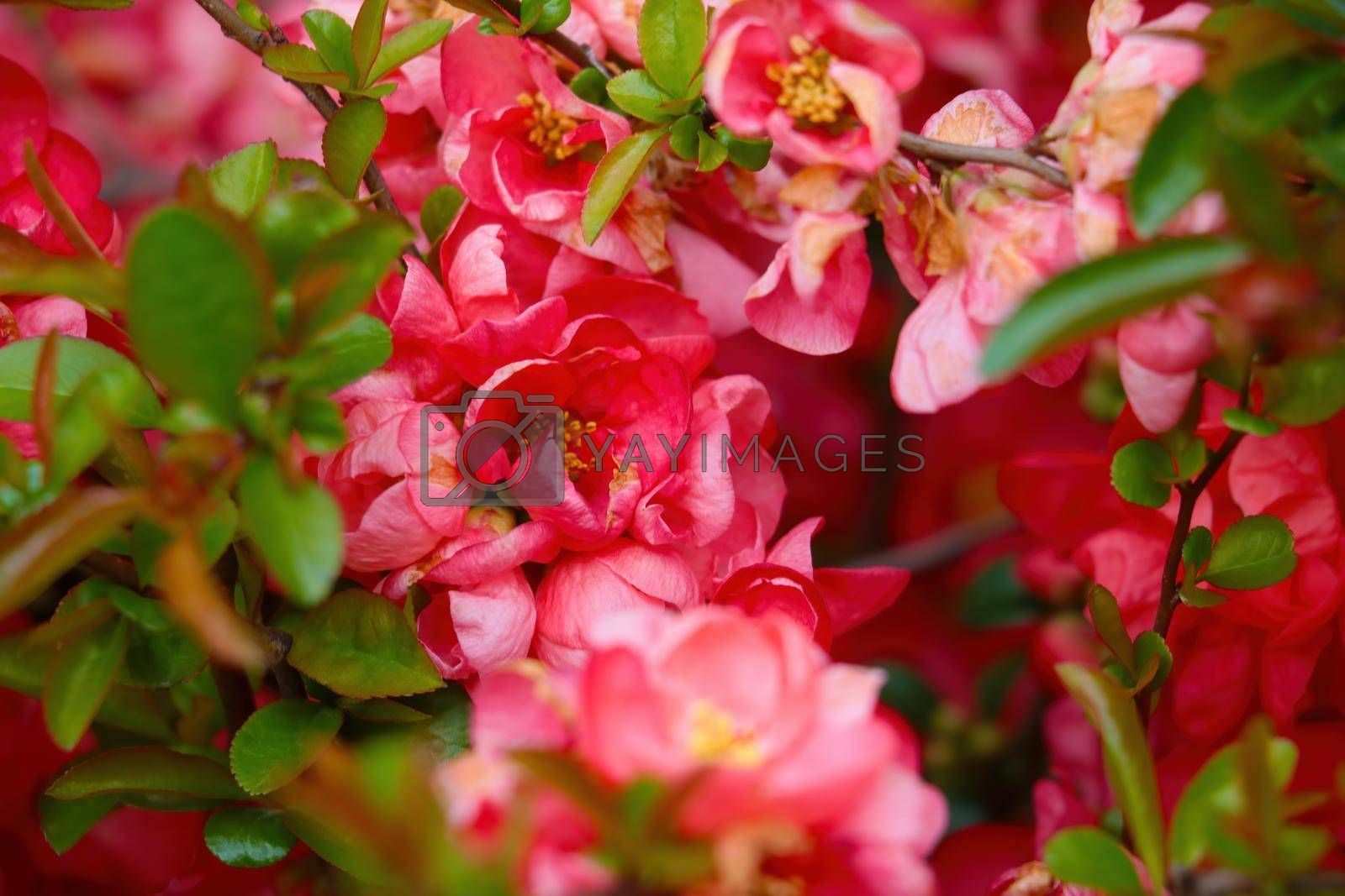 Royalty free image of Beautiful bushes of blooming young roses in the park. Fragrant scent from flowers. by kip02kas