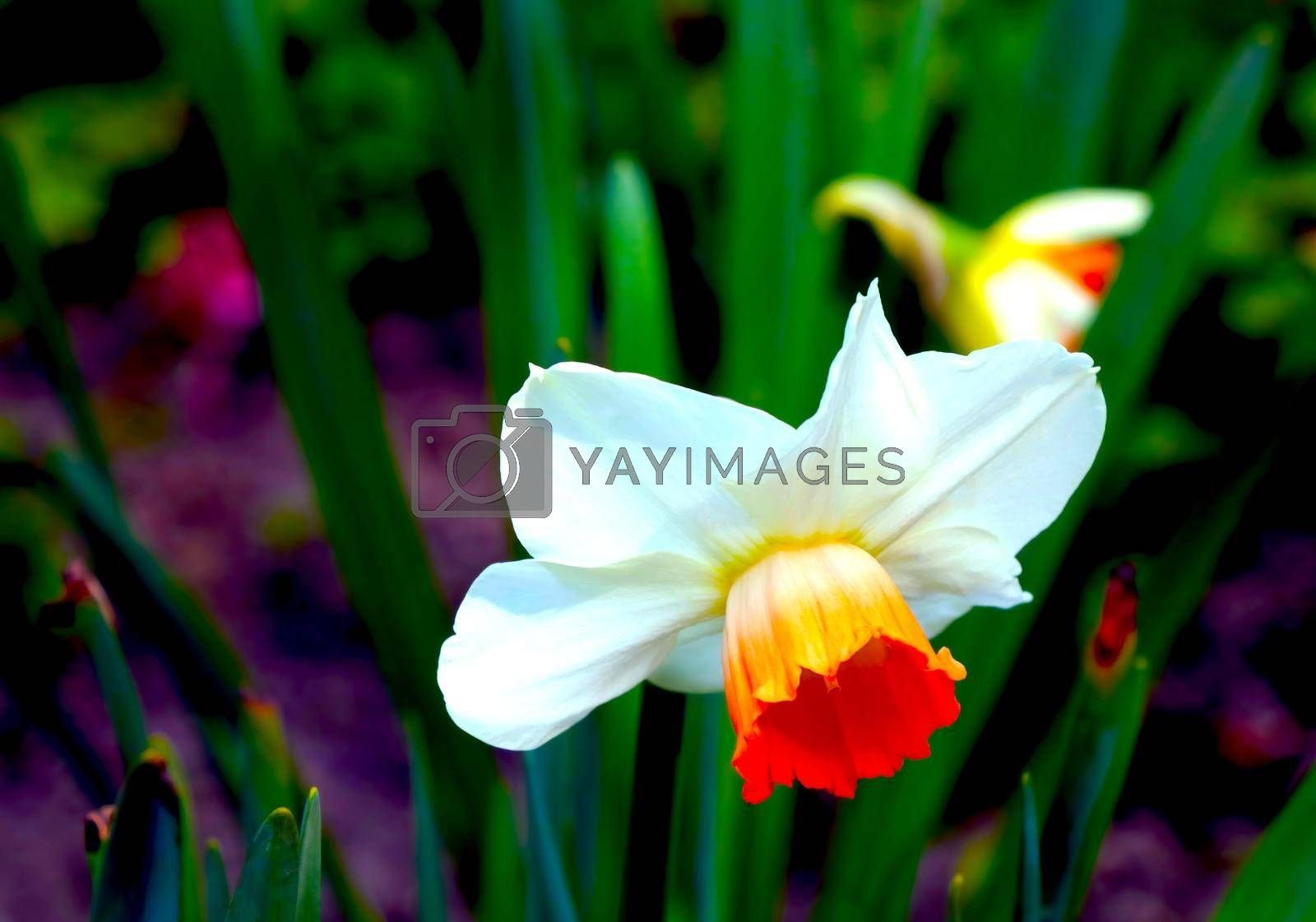 Royalty free image of Close-up on a blooming daffodil in the summer park. by kip02kas