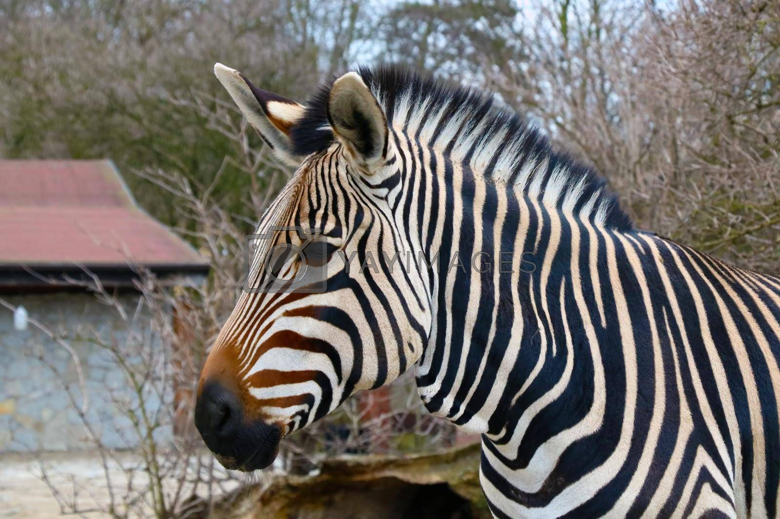 Royalty free image of Close-up on a zebra in the animal park. by kip02kas