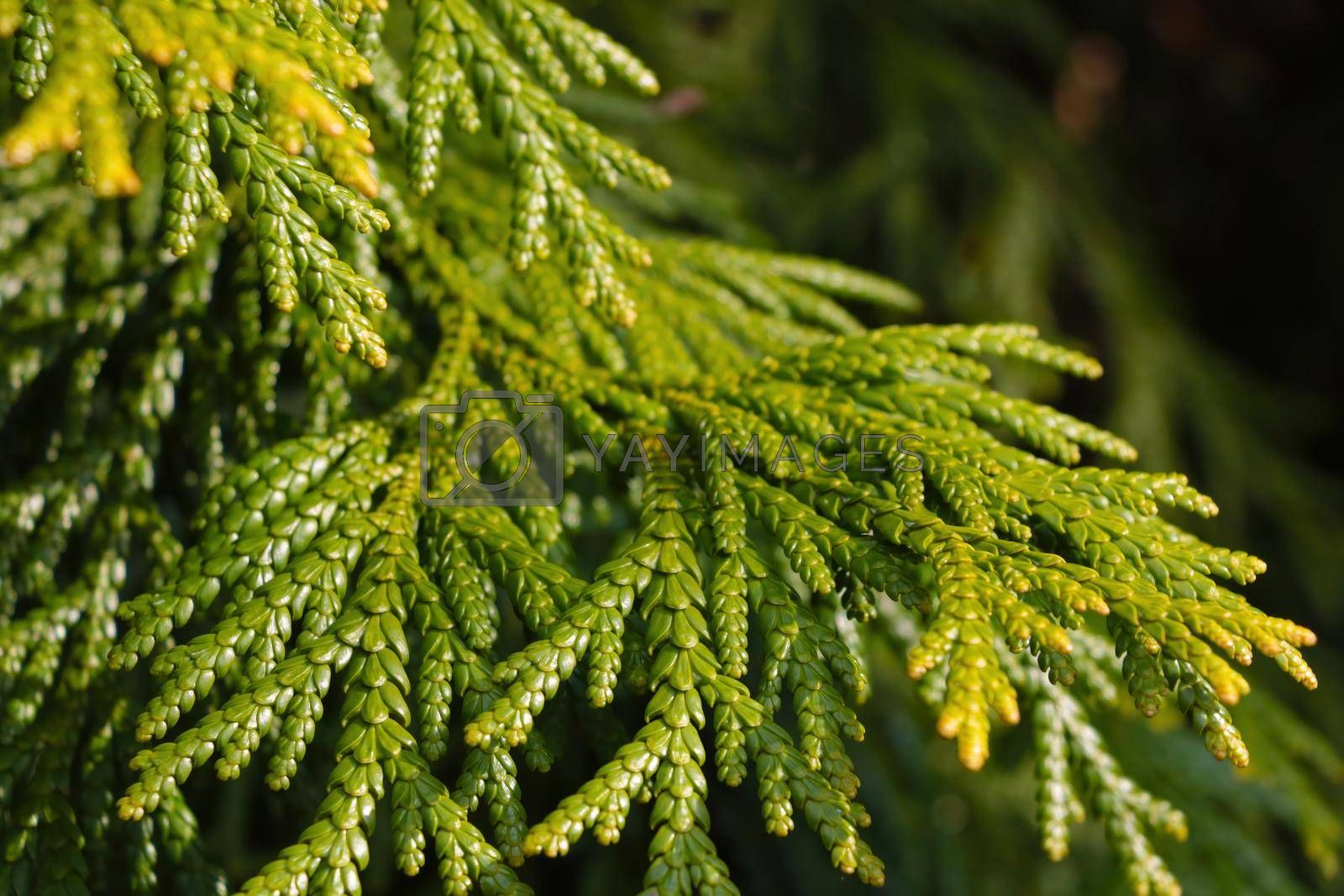 Royalty free image of Young green branch of juniper in the park. by kip02kas