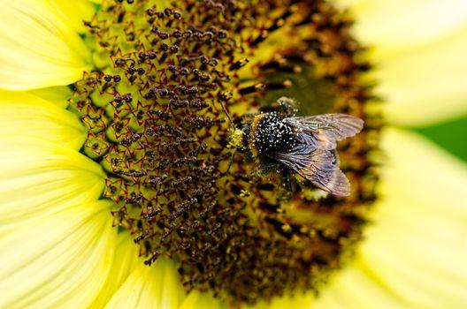 bee in pollen