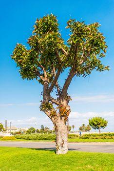Lone standing tree on Isle of Mallorca