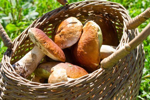 basket full of huge boletus edulis mushrooms