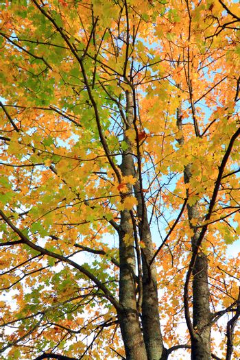 yellow sheet of the maple