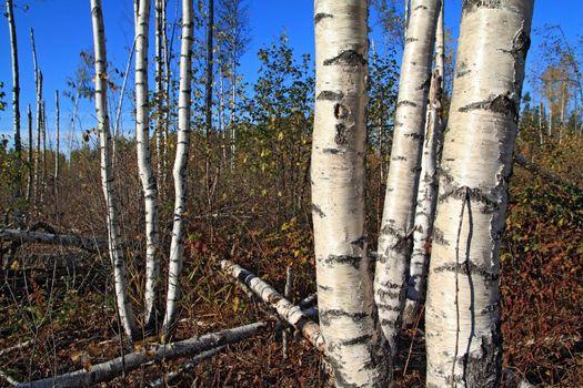 birch copse on summer field