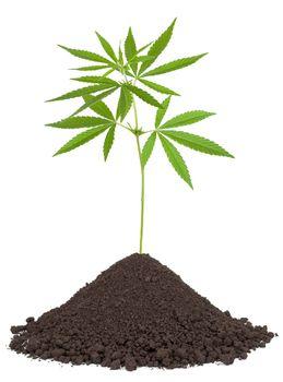 Cannabis plant in soil