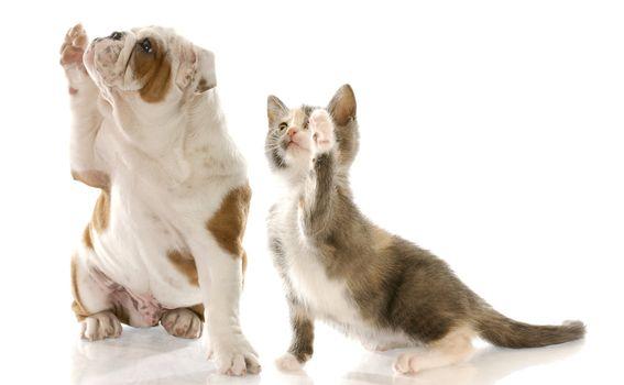 english bulldog puppy and kitten holding paw up to shake