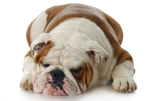 sad and depressed looking english bulldog laying down with reflection on white background