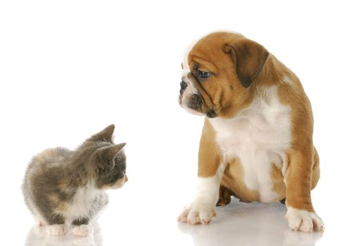 eight week old kitten and english bulldog puppy looking at each other with reflection on white background