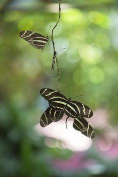 flying butterflies