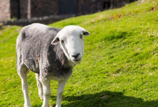 Sheep curious stare at camera