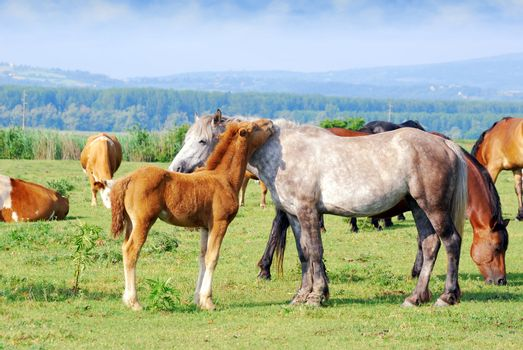 White horse mare with foal