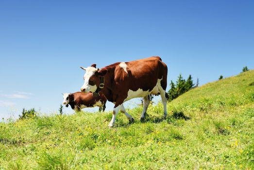 Alpine cows in summer