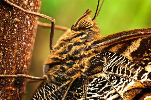 A macro shot of a giant owl butterfly.