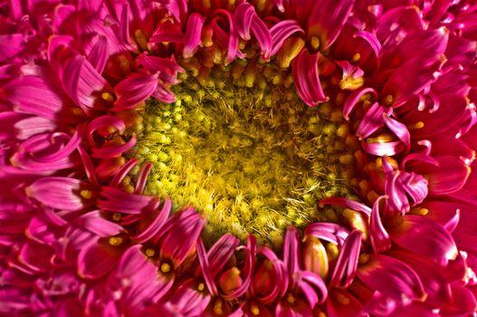 A closeup of a pink gerbera flower.