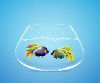 Two Angelfish in fishbowl falling in love