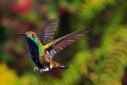 A hummingbird in flight preparing to land.