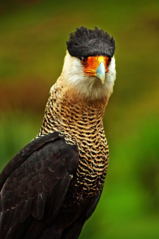 An image of a Caracara, a bird of prey.