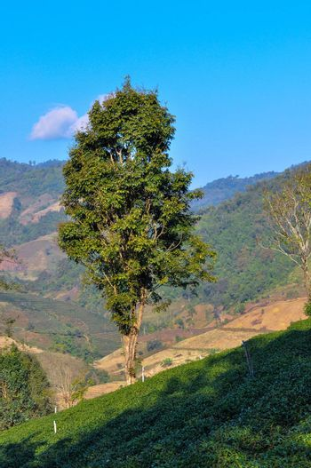 Lonely Trees stand alone among step of tea plantation.
