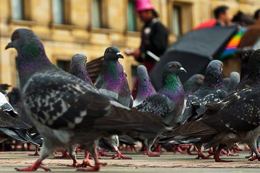 Pigeons in the Plaza de Bolivar in Bogota, Colombia.