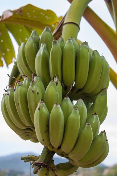 Banana bunch on tree ,Thailand
