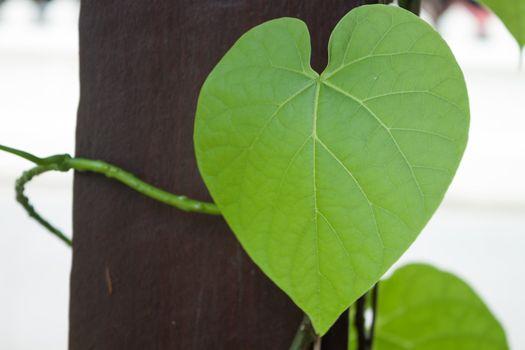 Wormwood leaf in heart shape