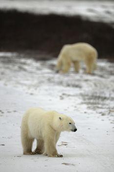 Polar bear walk. Polar bear walk.