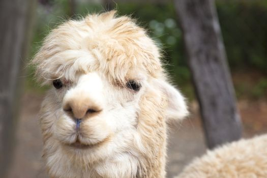 close up of  alpaca  face