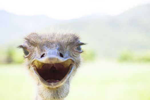 angry bird.close up of ostrich face