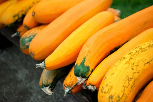 harvest of autumn orange pumpkins
