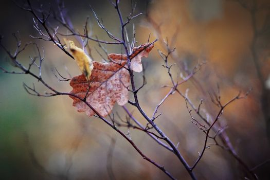 The dried-up oak leaf
