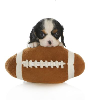 sports hound - cavalier king charles spaniel puppy with a stuffed football isolated on white background
