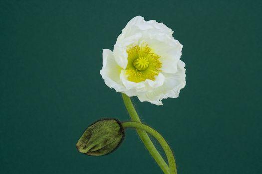 beautiful poppy flower and bud