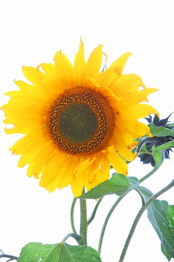 Single sunflower with leaves Single sunflower with leaves
