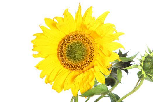 Large yellow sunflower Large yellow sunflower