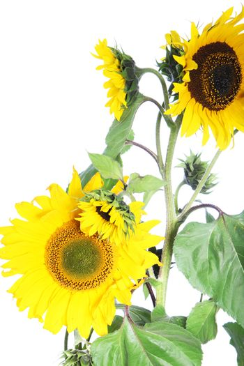Isolated sunflower plant