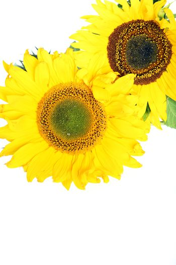 Sunflowers with copyspace