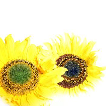 Two cheerful yellow sunflowers