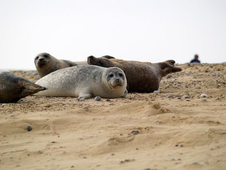 A seal pup on the beach in north norfolk