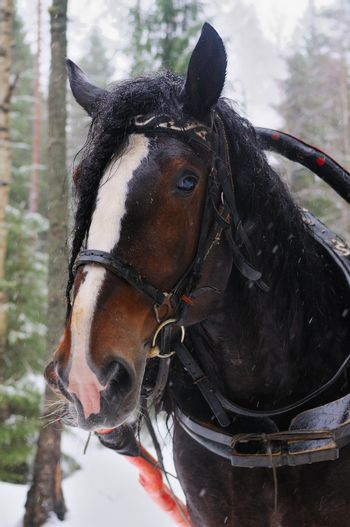 Pulled horse on the background of the winter forest.